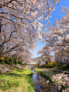 Fotos Japan Präfektur Tokio Frühling Park Blühende Bäume