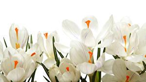 Hintergrundbilder Krokusse Großansicht Weißer hintergrund Weiß Blumen