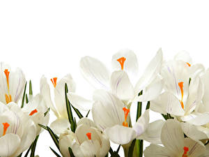 Image Crocuses Closeup White background White Flowers