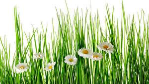 Fotos Kamillen Weißer hintergrund Gras Blumen