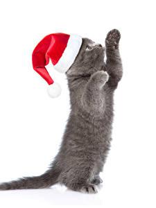 Bilder Neujahr Hauskatze Weißer hintergrund Kätzchen Mütze Pfote Graues Tiere