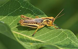 Fotos Großansicht Heuschrecken Insekten Blattwerk ein Tier