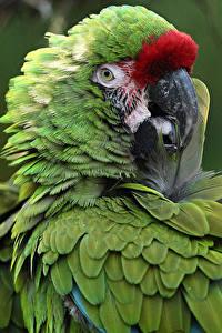 Bilder Vögel Papagei Schnabel Grün ein Tier