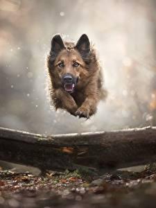 Fotos Hunde Deutscher Schäferhund Lauf Sprung Tiere