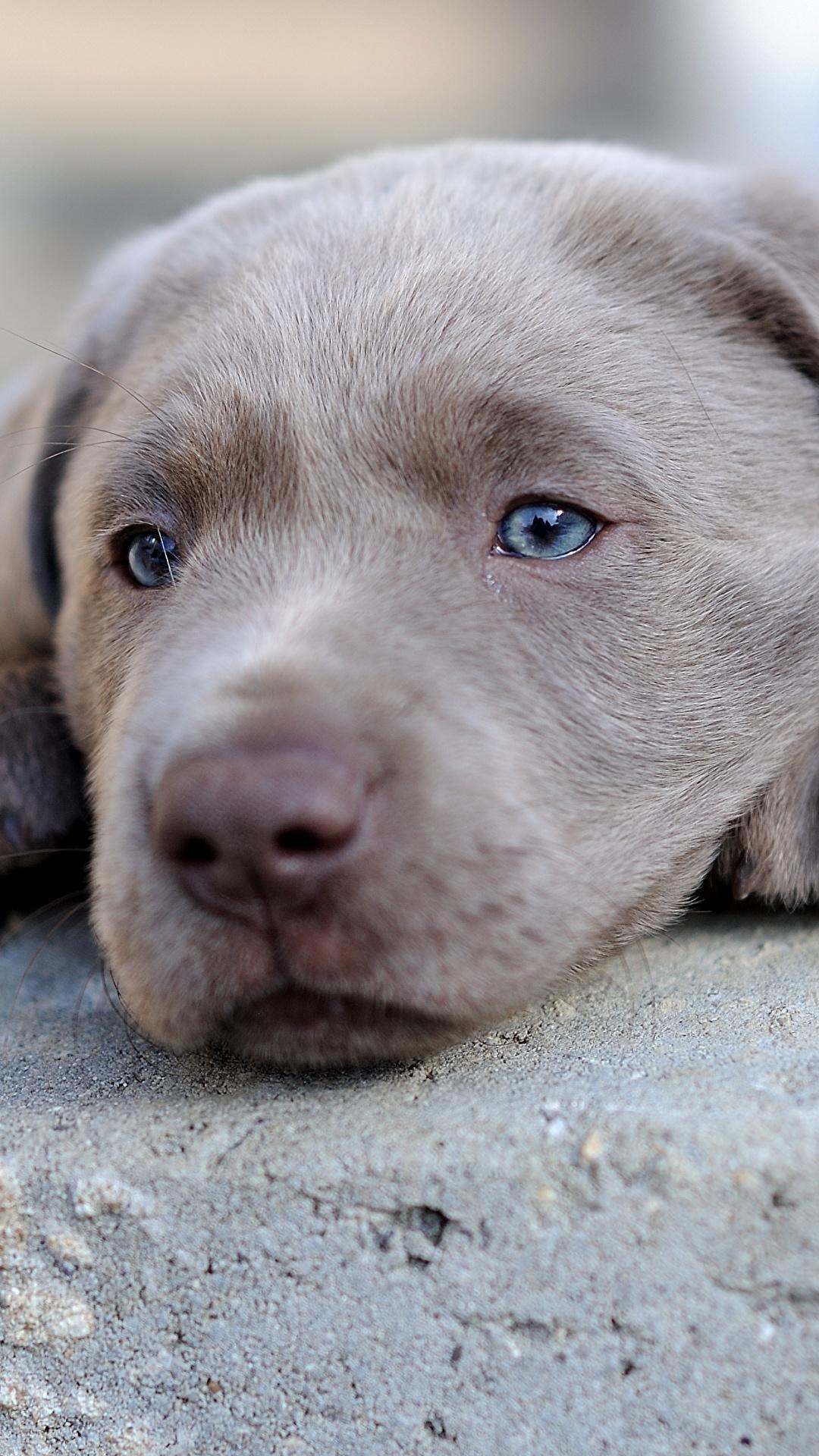 Fotos Welpe Retriever Labrador Retriever Hunde Grau Schnauze Kopf Tiere 1080x1920 für Handy