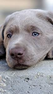 桌面壁纸,,犬,小狗,寻回犬,吻部,灰色,头,拉布拉多犬,動物