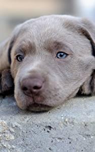 デスクトップの壁紙、、イヌ、子犬、レトリーバー、動物のスナウト、灰色、頭、ラブラドール・レトリバー、動物