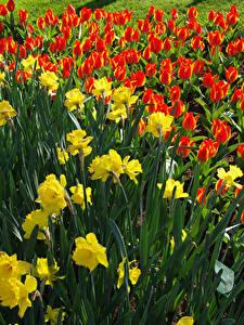 Bilder Niederlande Park Narzissen Tulpen Blumen