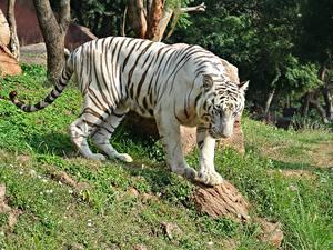 Hintergrundbilder Tiger Gras Weiß White Bengal Tiger Tiere