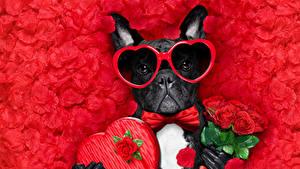 Papéis de parede Dia dos Namorados Cão Buquê Rosas Fundo vermelho Pétala Buldogue Coração Óculos Gravata-borboleta Animalia