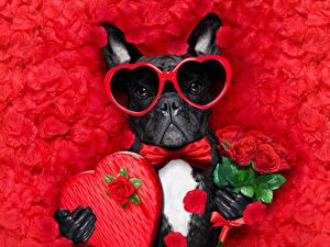 Bilder Valentinstag Hund Blumensträuße Rose Roter Hintergrund Blütenblätter Bulldogge Herz Brille Querbinder ein Tier