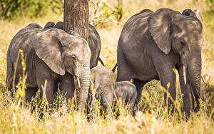 Hintergrundbilder Elefanten Jungtiere Tiere