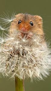 Hintergrundbilder Mäuse Löwenzahn Nahaufnahme Farbigen hintergrund Eurasian harvest mouse ein Tier