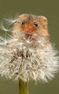 Wallpapers Mice Dandelions Closeup Colored background Eurasian harvest mouse Animals