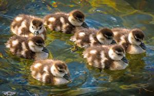 Bilder Vögel Ente Jungtiere Wasser