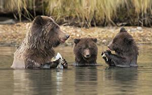 Bilder Bären Braunbär Jungtiere Wasser Drei 3