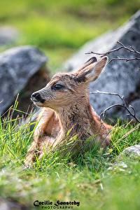 Fotos Hirsche Jungtiere Gras