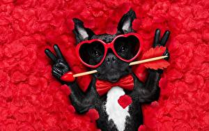 Wallpapers Dogs Valentine's Day French Bulldog Glasses Heart Glove Funny Bow tie Petals Animals