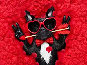 Papéis de parede Cão Dia dos Namorados Buldogue francês Óculos Coração Luva Engraçada Gravata-borboleta Pétala um animal