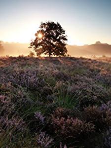 Hintergrundbilder Acker Sonnenaufgänge und Sonnenuntergänge Lavendel Bäume Heather Flowers Natur