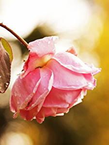 Fotos Rosen Hautnah Rosa Farbe Blumen