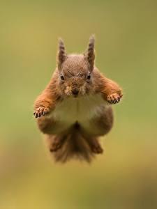 Fotos Eichhörnchen Sprung Flug ein Tier