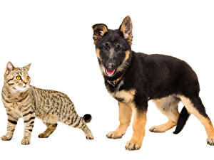 Pictures Cat Dogs German Shepherd White background 2 Animals