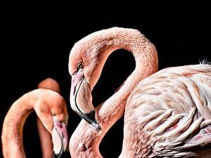 Bilder Flamingos Großansicht Schwarzer Hintergrund Schnabel Tiere