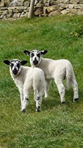 Wallpaper Sheep Cubs Grass 2 Animals