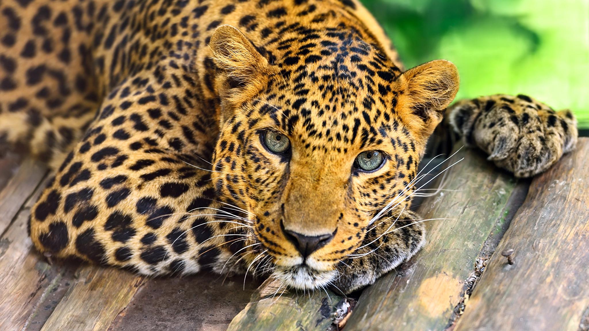 Big_cats_Leopards_Wood_planks_Glance_512