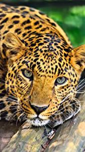 Bilder Große Katze Leopard Bretter Blick Tiere