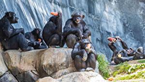 Hintergrundbilder Affen Sitzt Tiere