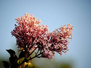 Picture Closeup Syringa Pink color Meyer's lilac Flowers