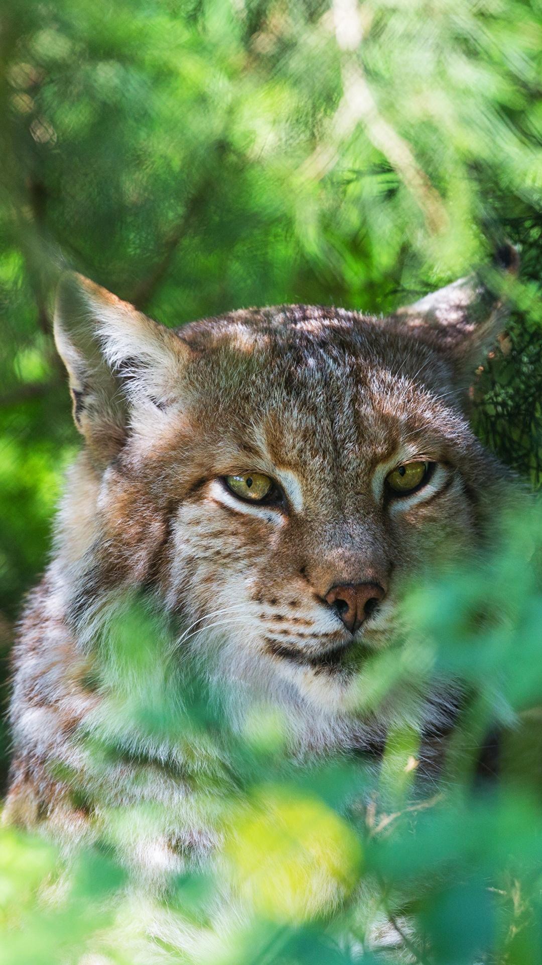 Fotos von Luchse Kopf Tiere Starren 1080x1920 Blick