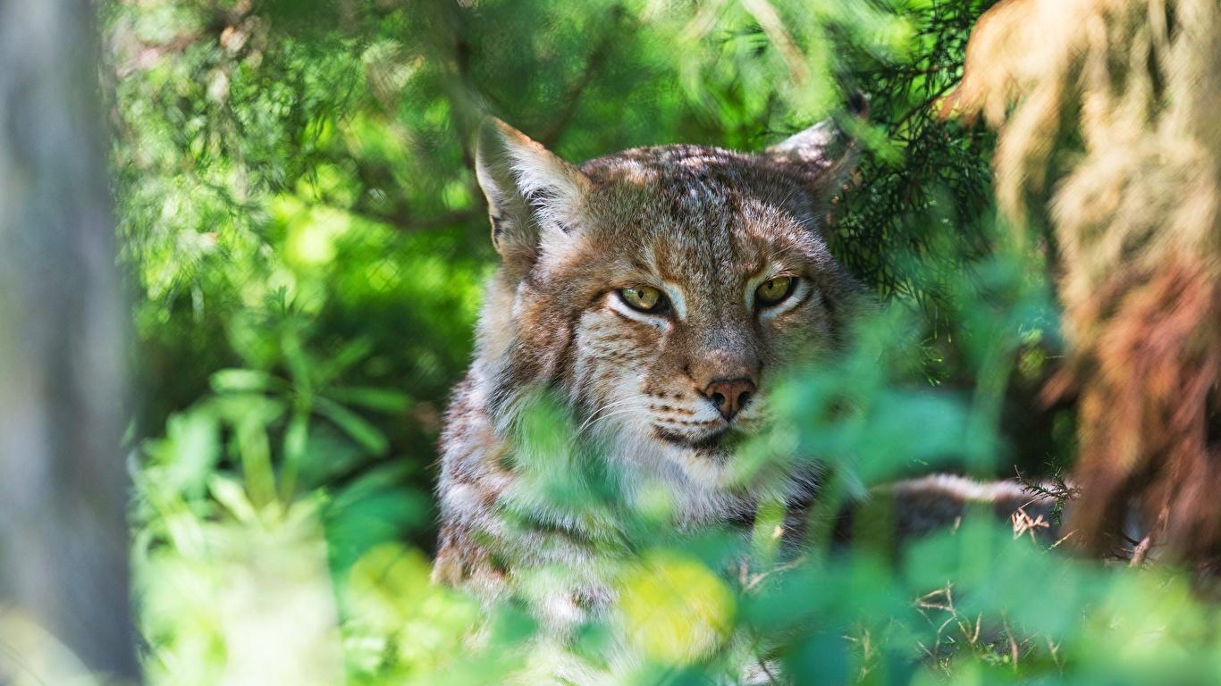 Fotos von Luchse Kopf Tiere Starren 1366x768 Blick