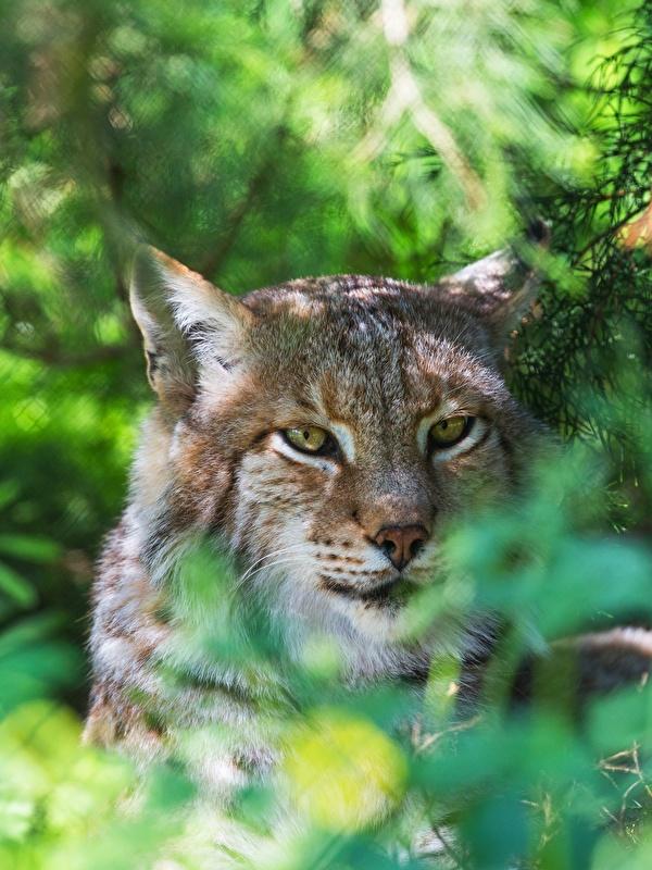 Fotos von Luchse Kopf Tiere Starren 600x800 Blick ein Tier