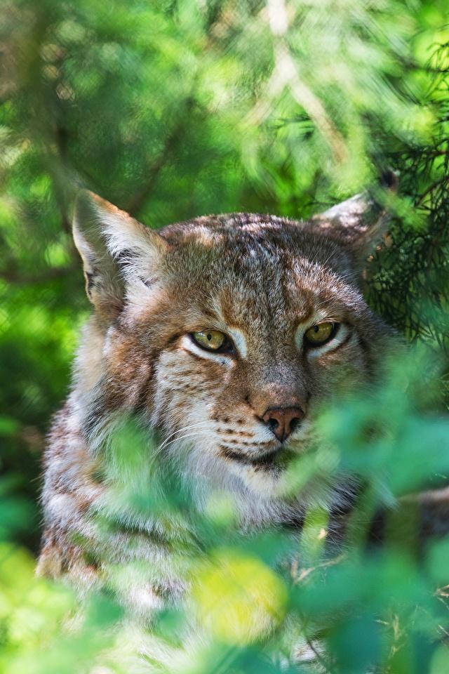 Fotos von Luchse Kopf Tiere Starren 640x960 Blick