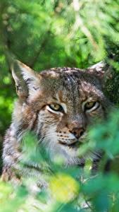 Image Lynx Head Staring Animals