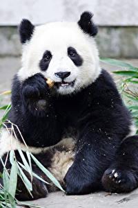 Fotos Bären Großer Panda Sitzt ein Tier