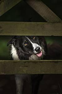 Hintergrundbilder Hunde Zaun Bretter Border Collie Tiere