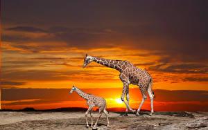 Hintergrundbilder Giraffe Jungtiere Sonnenaufgänge und Sonnenuntergänge 2 Tiere