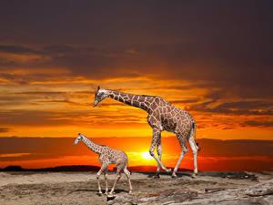 Hintergrundbilder Giraffe Jungtiere Sonnenaufgänge und Sonnenuntergänge 2