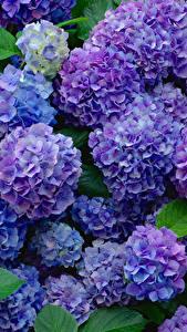 Hintergrundbilder Hortensien Blau Violett Blumen