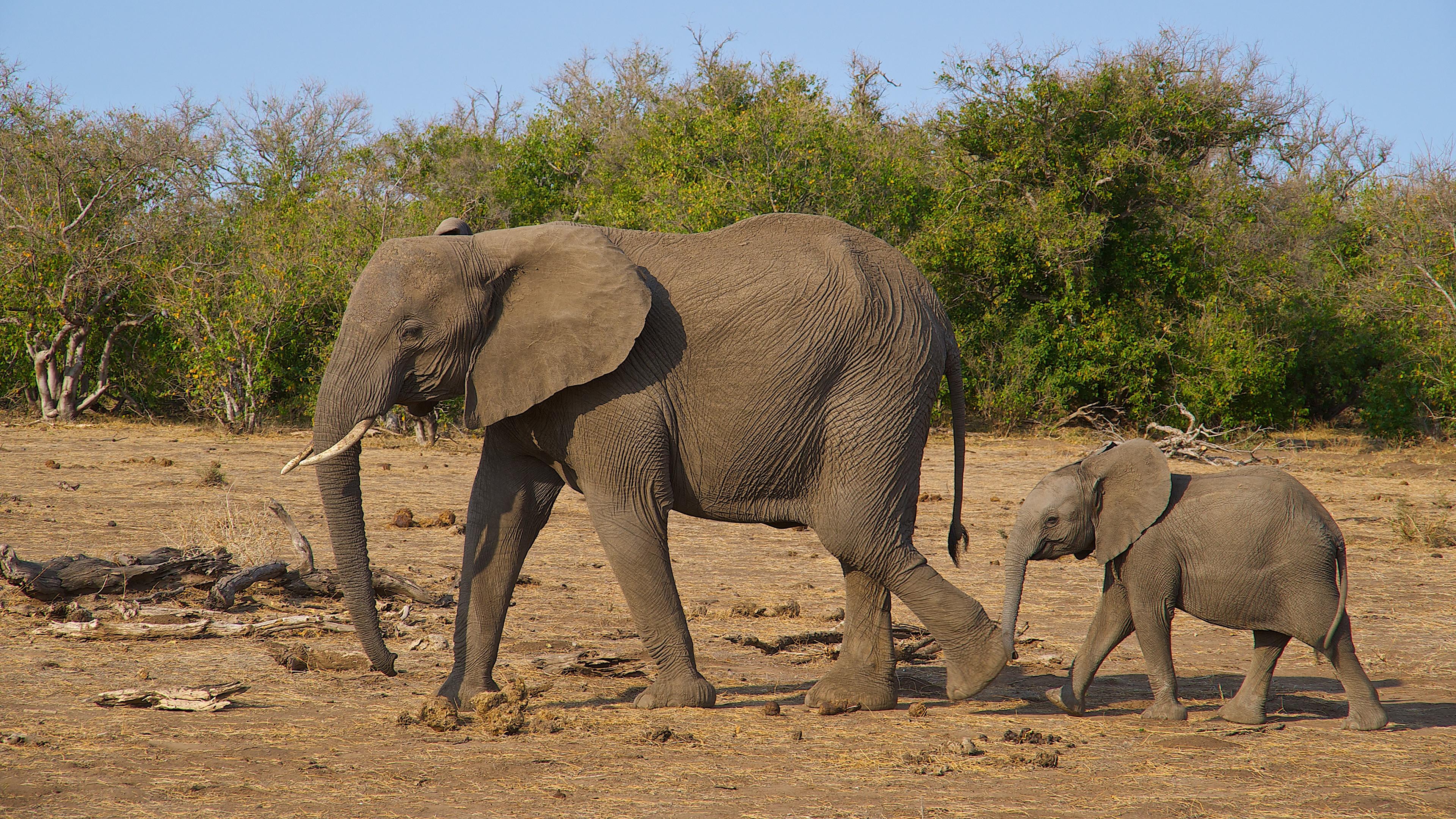 Fonds D Ecran 3840x2160 Elephant Petits Animaux Telecharger
