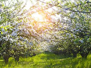 Hintergrundbilder Garten Frühling Blühende Bäume Gras Ast Natur