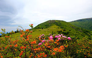 Hintergrundbilder Vereinigte Staaten Park Rhododendren Hügel Strauch Carolina Roan Mountain Rhododendrons Natur