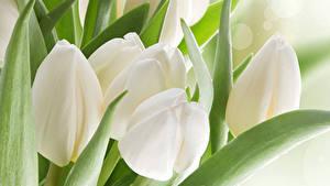 Hintergrundbilder Tulpen Hautnah Weiß Blüte