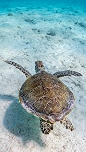 Wallpaper Underwater world Turtles Animals