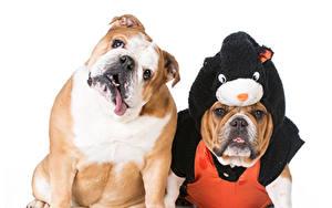 Photo Dog White background 2 Bulldog Uniform animal