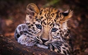 Fotos Leopard Jungtiere Blick Schnauze